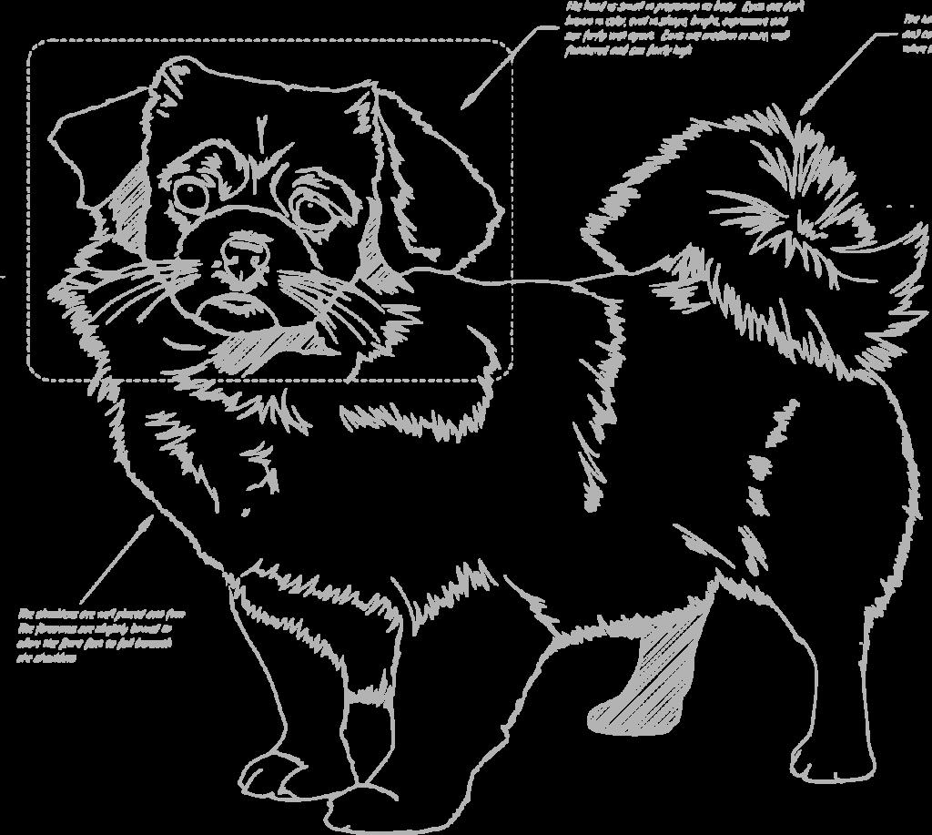 standard Tibetan Spaniel